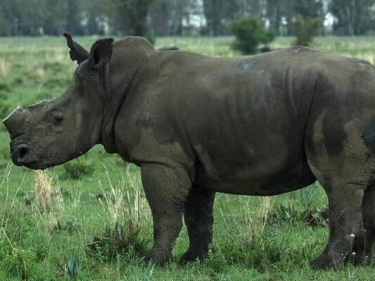 Saving Our Rhinos 2