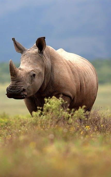 Saving Our Rhinos 1